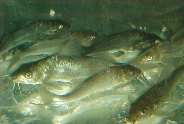 Loricarídeos