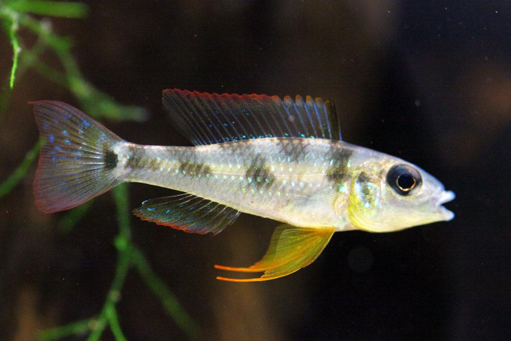 Biotoecus opercularis